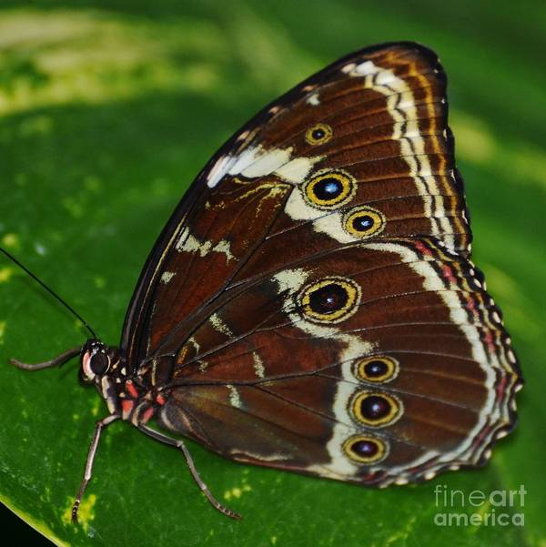 Butterfly Poster featuring the photograph Common Morpho by Paulina Roybal