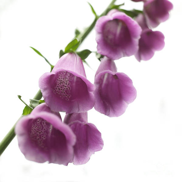 Foxglove Poster featuring the photograph Foxglove Flowers by Tony Cordoza