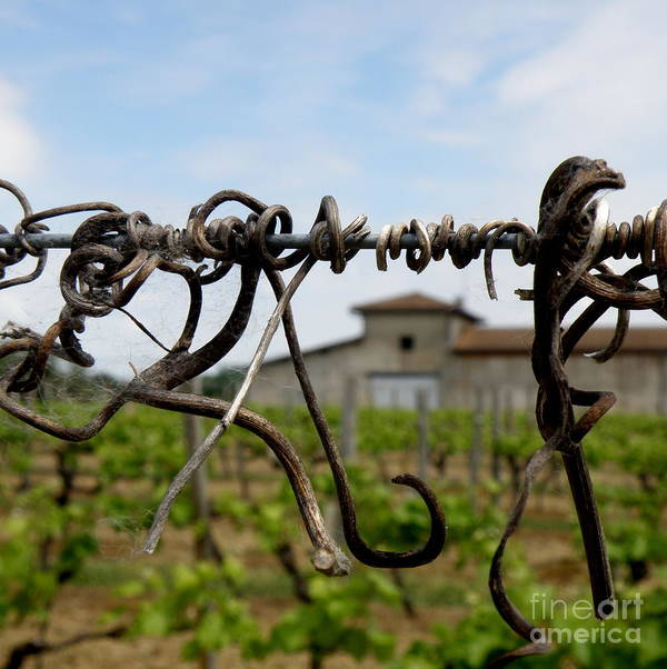 Vineyard Poster featuring the photograph Old And New by Lainie Wrightson