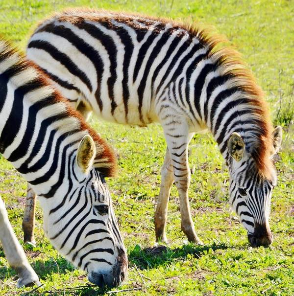 Zebra Poster featuring the photograph Zebras by Werner Lehmann
