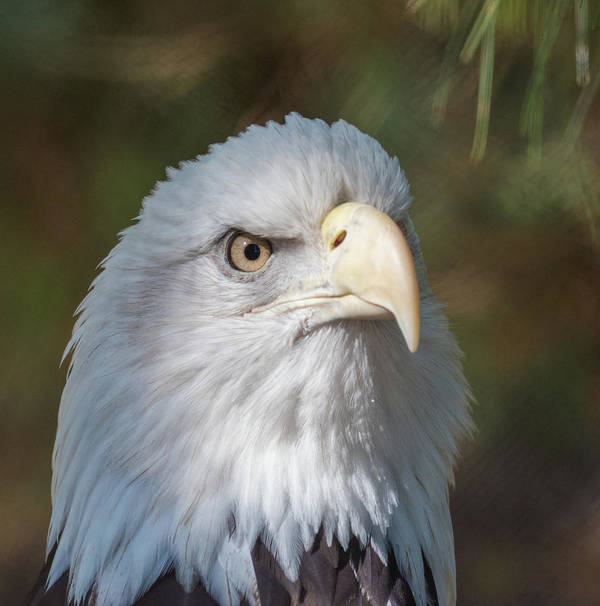 Bald Eagle Poster featuring the photograph Bald Eagle by Andrew Lelea