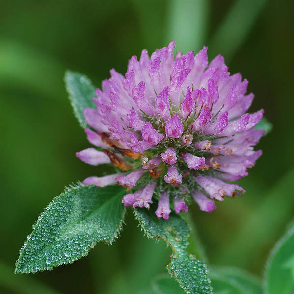 Flower Poster featuring the photograph Clover In Dew by Michael Peychich