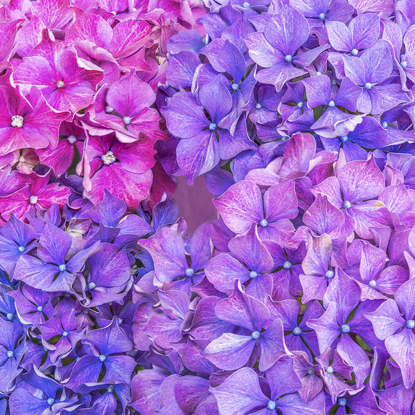 Abstract Poster featuring the photograph Hydrangea by Nina Lin