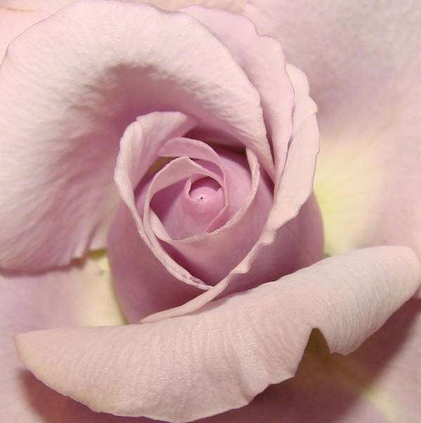 Flowers Poster featuring the photograph Lavender Mini Rose by Liz Vernand