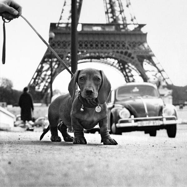 Eiffel Tower Poster featuring the photograph Milo Mon Chien by Hans Mauli