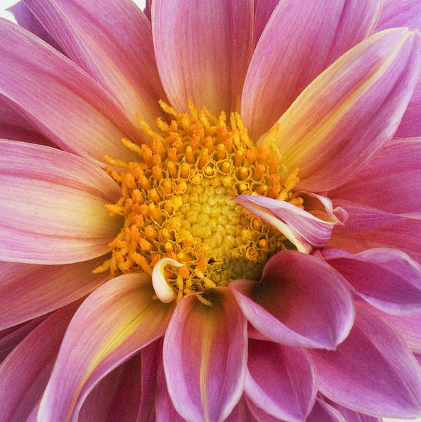 Flower Poster featuring the photograph Pink Dahlia by Tony Ramos