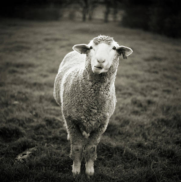 Vertical Poster featuring the photograph Sheep Chewing Cud by Danielle D. Hughson