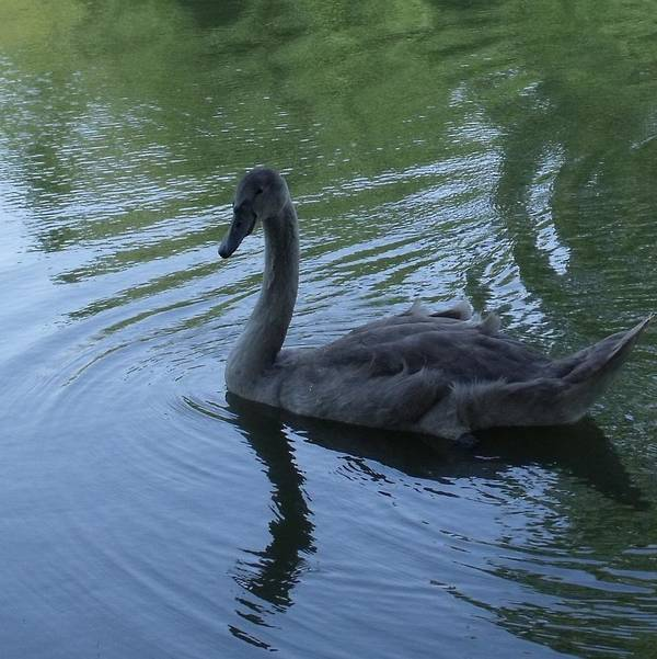 Swan Poster featuring the photograph Swan Cygnet by Anna Villarreal Garbis