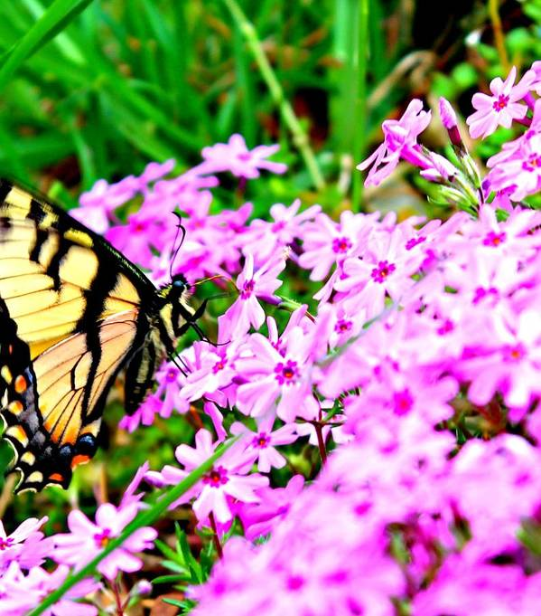 Swallowtail Poster featuring the photograph Swallowtail Spring Flowers by Candice Trimble