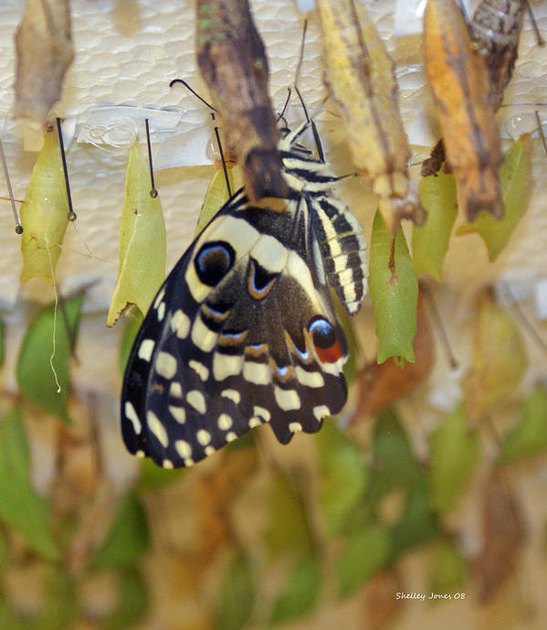 Butterfly Poster featuring the photograph And life begins by Shelley Jones