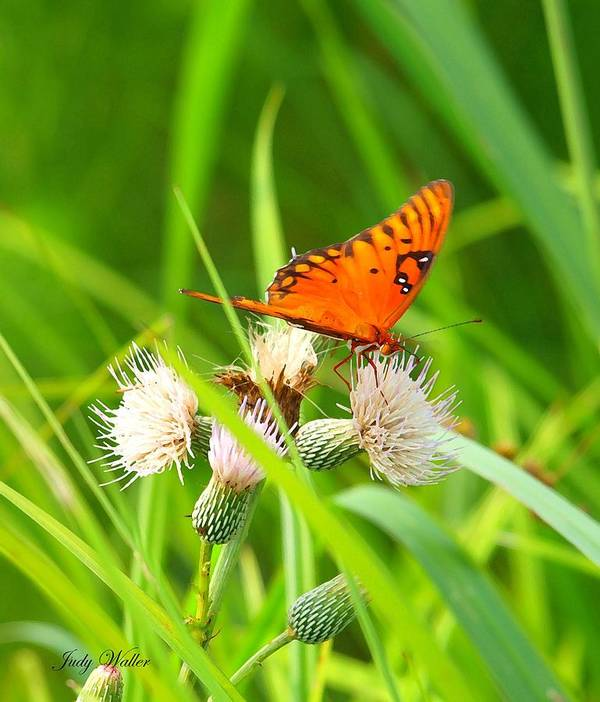 Nature Poster featuring the photograph Butterfly by Judy Waller