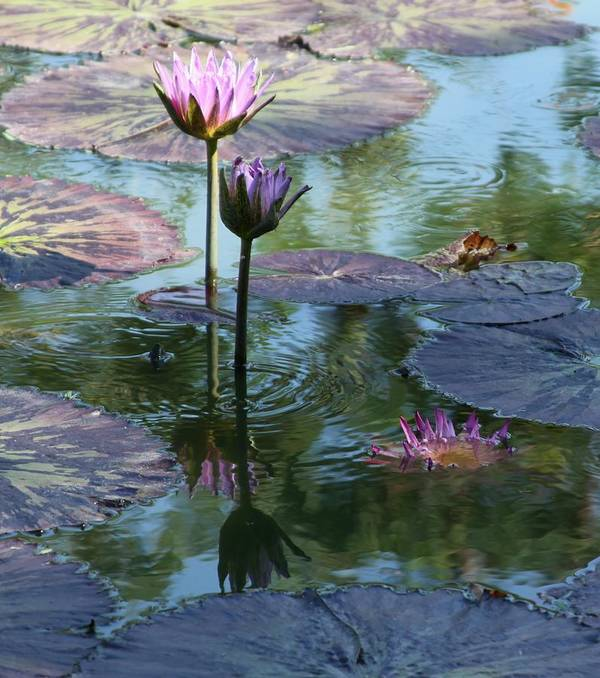 Pink Water Lilies Poster featuring the photograph Ripples and Pink Lilies by John Lautermilch