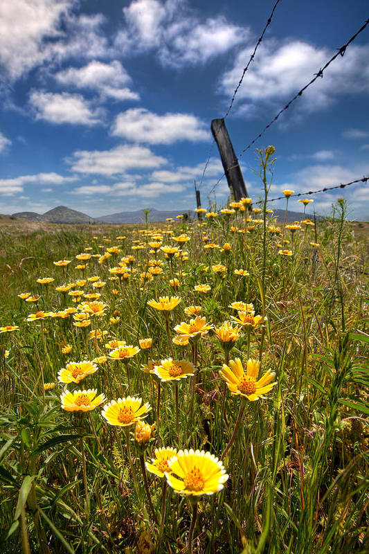 Laguna Mountains Poster featuring the photograph Wildflowers And Barbed Wire by Peter Tellone