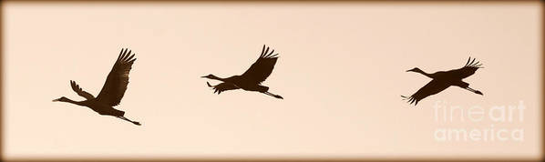 Flying Sandhill Cranes Poster featuring the photograph Soaring Sandhills Silhouette by Carol Groenen