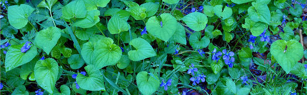 Violets Poster featuring the photograph Blue Violets by Alan Lenk