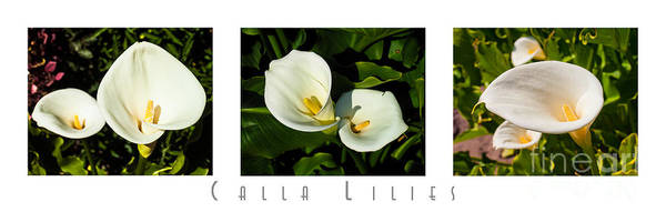 Triptych Poster featuring the photograph Calla Lilly Color Triptych With Title Only by David Doucot