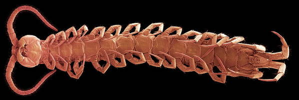 Centipede Poster featuring the photograph Centipede Underside, Sem by Steve Gschmeissner