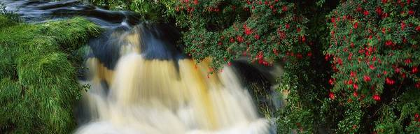 Fuschia Poster featuring the photograph Waterfall And Fuschia, Ireland by The Irish Image Collection