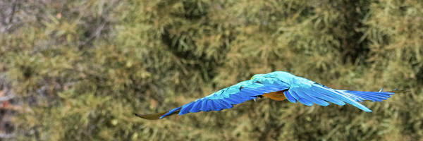 Macaw Poster featuring the photograph Macaw In Flight by Andrew Lelea