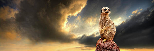 Meerkat Poster featuring the photograph Sentry Duty by Meirion Matthias
