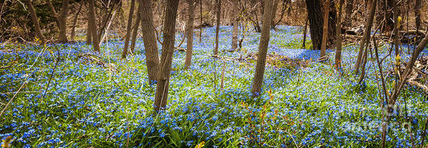 Flowers Poster featuring the photograph Carpet Of Blue Flowers In Spring Forest by Elena Elisseeva