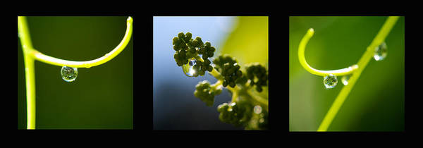 Triptych Poster featuring the photograph Grape Vines And Water Drops Triptych by Lisa Knechtel