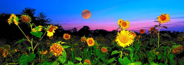 Sunflower Patch Poster featuring the photograph Sunflower Patch And Moon by Randall Branham