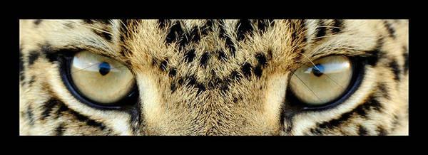 Eyes Poster featuring the photograph Leopard Eyes by Sumit Mehndiratta