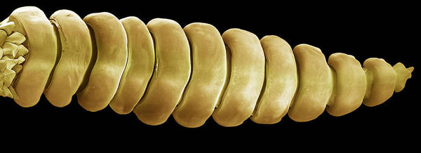 Rattlesnake Poster featuring the photograph Rattlesnake Rattle, Sem by Steve Gschmeissner
