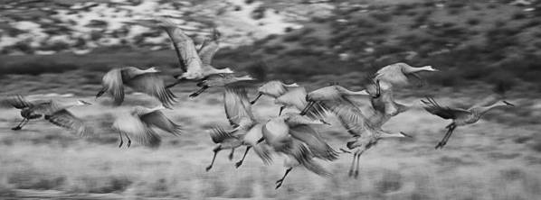 Sandhill Cranes Poster featuring the photograph Sandhill Cranes by Bob Ayre