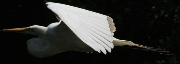 Egrets Poster featuring the photograph Egret Soaring by Christopher Kirby