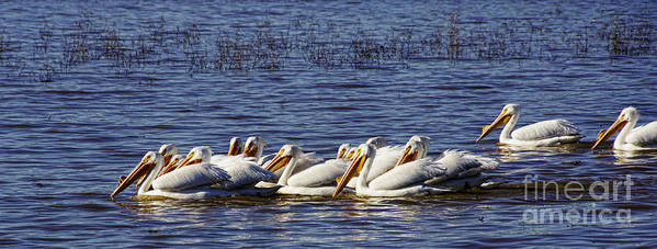 Diana Cox Poster featuring the photograph Raft Of Pelicans by Diana Cox