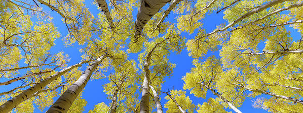 Arizona Poster featuring the photograph Aspen Trees by Radek Hofman