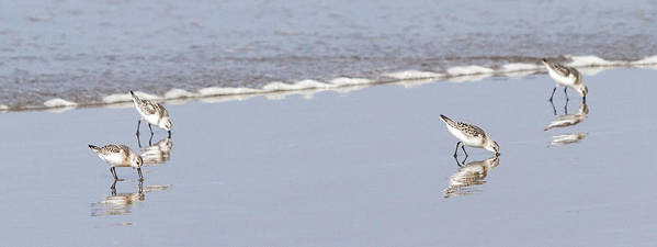 Sandpiper Poster featuring the photograph Sandpipers by Jayme Spoolstra