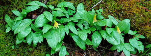 Trout Lily Poster featuring the photograph Trout Lily Panorama by Alan Lenk