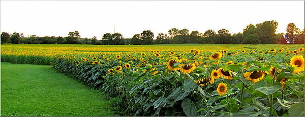 Millions Of Sunflowers Poster featuring the photograph Millions Of Sunflowers by Danielle Parent