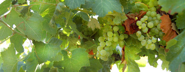 Vineyard Poster featuring the photograph Vineyard by Gina Dsgn