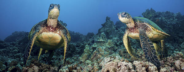 Animal Poster featuring the photograph Turtle Panorama by Dave Fleetham - Printscapes