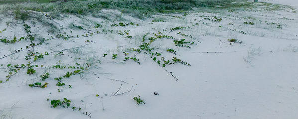 Beach Vines Poster featuring the photograph Sandscape Vines by Anthony Robinson