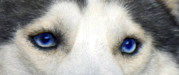 Husky Poster featuring the digital art Husky Eyes by Jane Schnetlage
