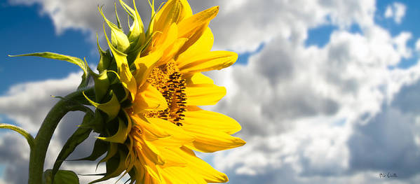 Sunflower Poster featuring the photograph Ah Sunflower by Bob Orsillo