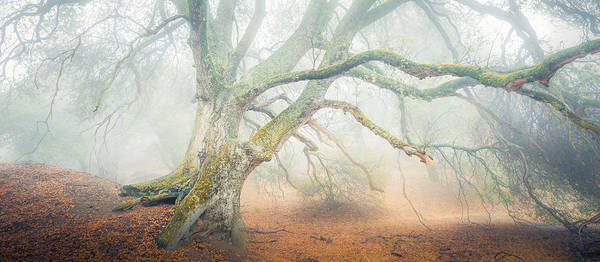California Poster featuring the photograph Dream Oak II Color 1 by Alexander Kunz