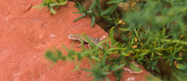 Closeup Poster featuring the photograph Red Rock Lizard by Andreas Hohl