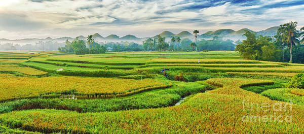 Paddy Poster featuring the photograph Paddy Rice Panorama by MotHaiBaPhoto Prints