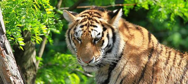 Bengal Tiger Portrait Poster featuring the photograph Bengal Tiger Portrait by Dan Sproul