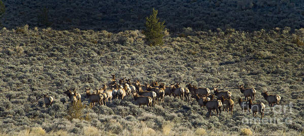 Elk Poster featuring the photograph Evening Herd Of Elk  #7640 by J L Woody Wooden