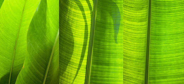 Abstract Poster featuring the photograph Green Leaf by Setsiri Silapasuwanchai