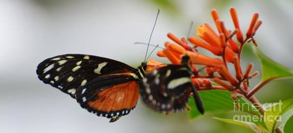 Butterfly Poster featuring the photograph Spotted Tiger Glassywing by Paulina Roybal