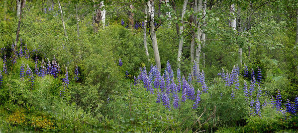 Aspen Poster featuring the photograph Lupine And Aspens by Heather Coen