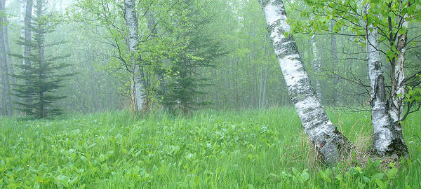 Landscape Poster featuring the photograph Silent Birch by Bill Morgenstern